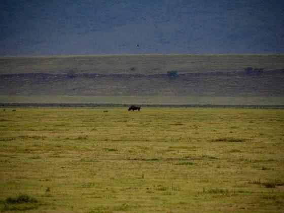 Un des rares rhinocéros en Tanzanie