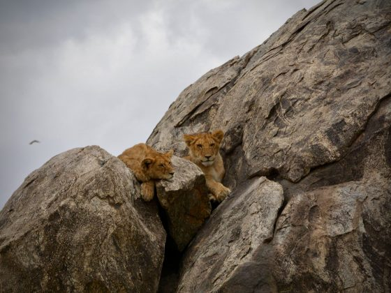 Magnifiques lions dans le parc national Serengeti