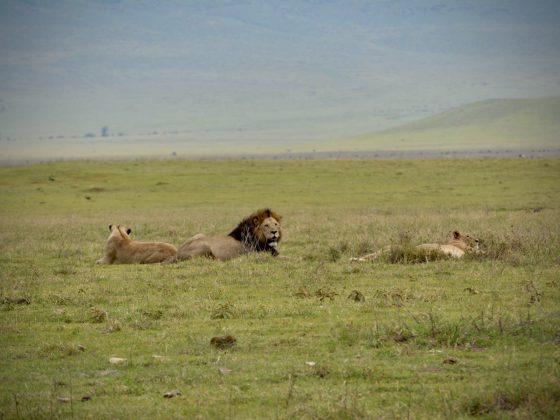 Des lions dans le cratère du Ngorongoro