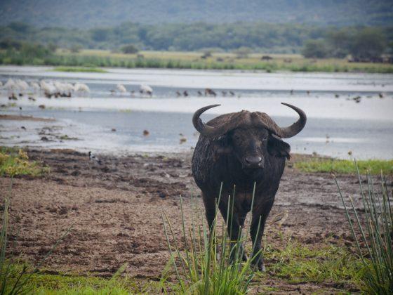 Un buffle au parc national du Lac Manyara en Tanzanie