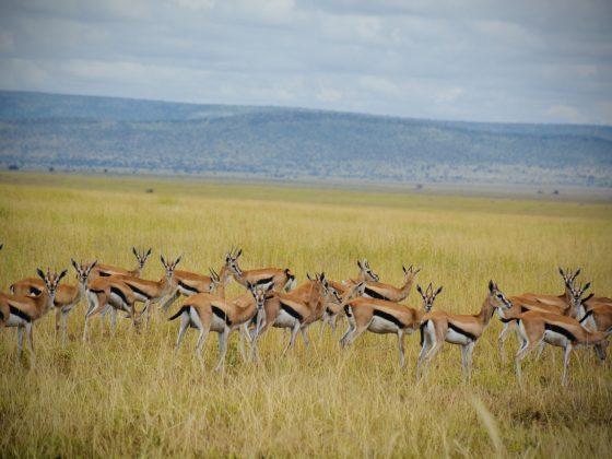 Élégantes petites gazelles de Thomson