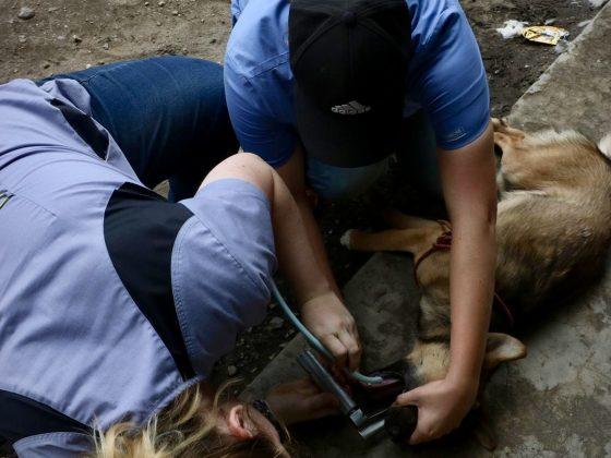 Apprendre à intuber un chien sur le coté. Habituellement, l'animal est en position sternale.