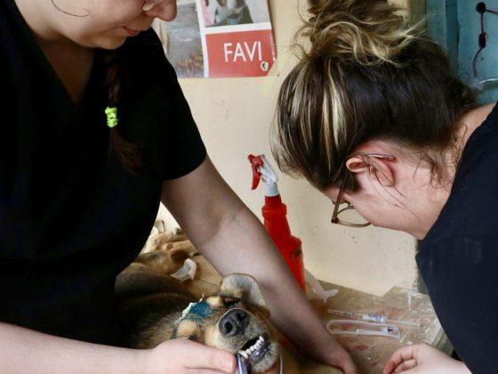 Les étudiantes ont pratiqué leur pose de cathéter sur 287 chiens!