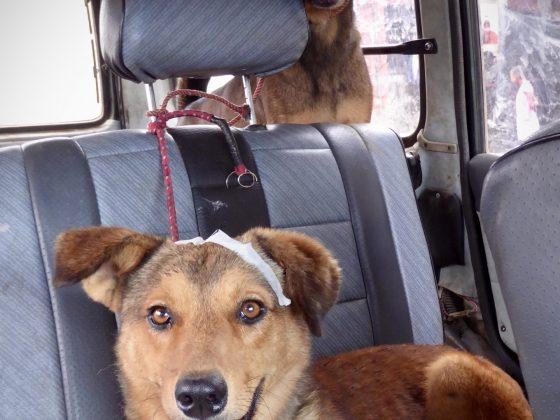 Transport adapté pour les chiens de la rue.