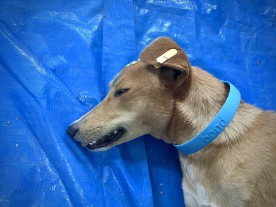 Chaque chien stérilisé a reçu un collier. Un implant jaune à l'oreille est visible à distance et signifie que le chien est stérilisé et vacciné contre la rage.