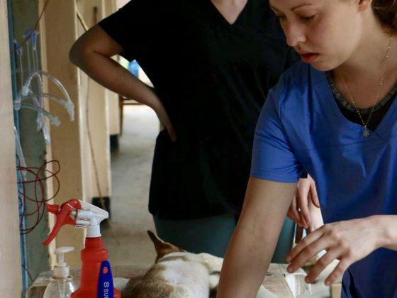 Les étudiantes préparaient les animaux pour la chirurgie