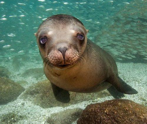 lion de mer à Baja California