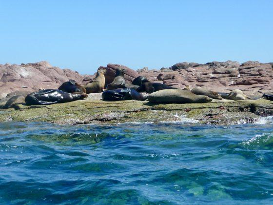 lions de mer à Baja California