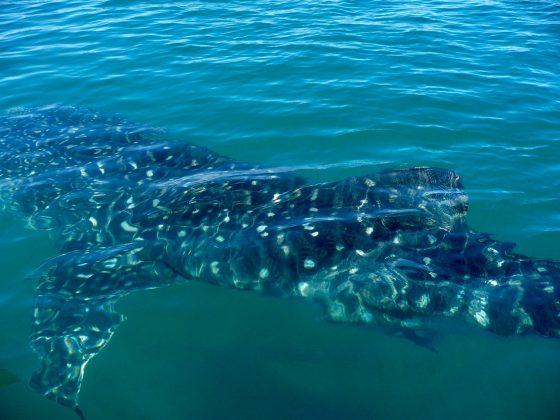requin-baleine à Baja California