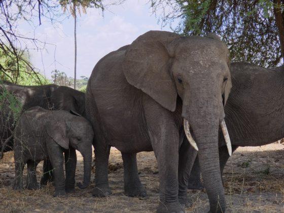Safari FAVI; éléphants dans le parc Tarangire en Tanzanie