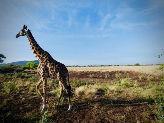 Élégante girafe en Tanzanie