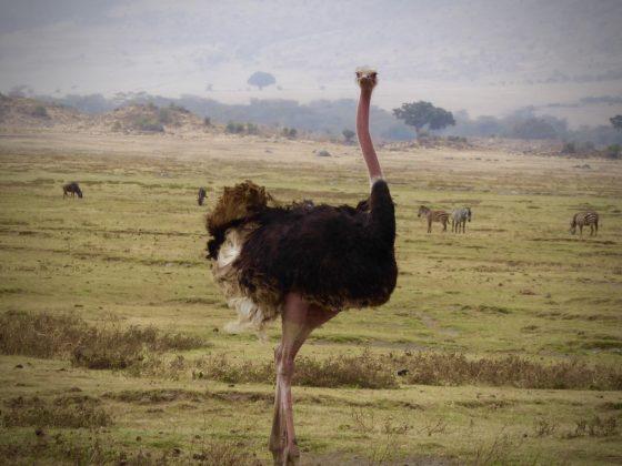 Autruche lors du safari FAVI dans le cratère du Ngorongoro