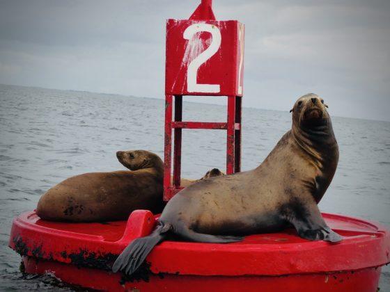 Lions de mer, projet FAVI, Baja California