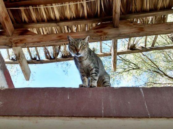Pensionnaire félin au refuge Animalandia à Loreto, Baja California Sur