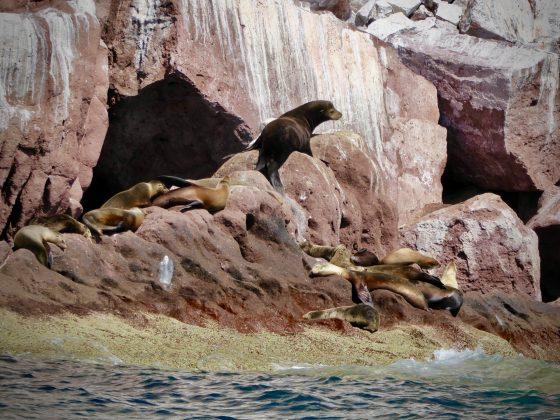 Lions de mer à Espiritu Santo, Baja California, Mexique