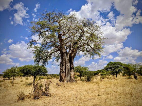 Baobab du parc national Tarangire en Tanzanie