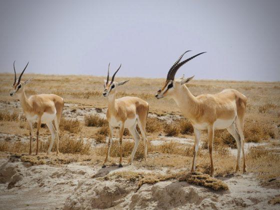 Gazelles de Grant lors du safari FAVI en Tanzanie
