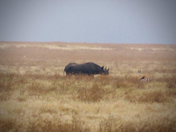 Rhinocéros noir dans le cratère du Ngorongoro en Tanzanie