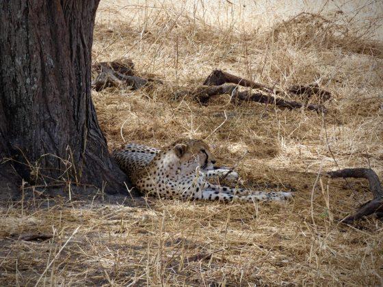 Guépard dans le parc national de Tarangire en Tanzanie