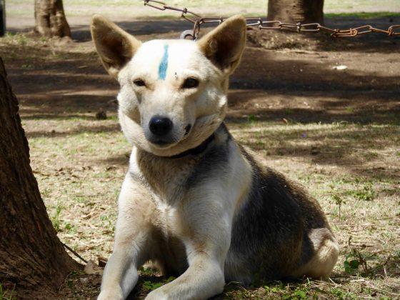 Le trait bleu signifie que le chien a reçu son vaccin contre la rage
