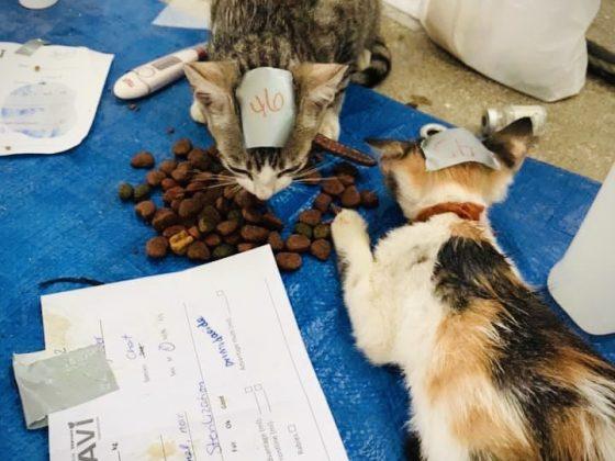 Chattes dans la zone de réveil à la clinique de stérilisation FAVI au Belize