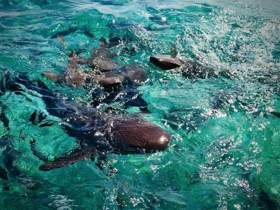Nager avec les requins nourriciers, projet FAVI Belize