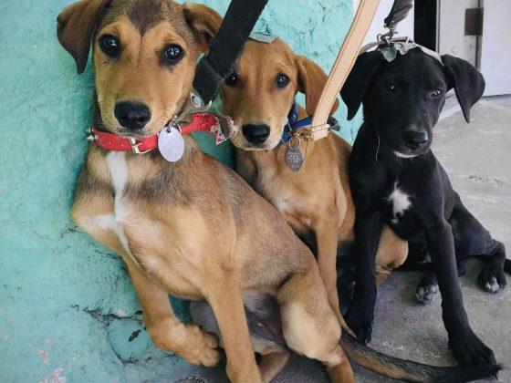 Des chiens à la clinique de stérilisation FAVI au Belize