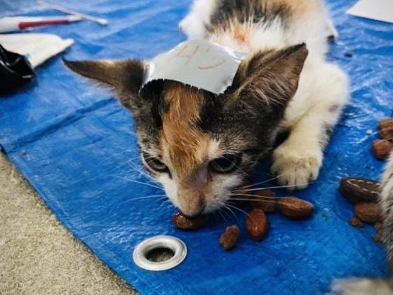 Petite chatte au réveil à la clinique de stérilisation FAVI Belize