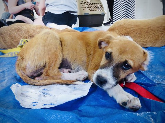 Un chien dans la zone de réveil à la clinique de stérilisation de la FAVI au Belize