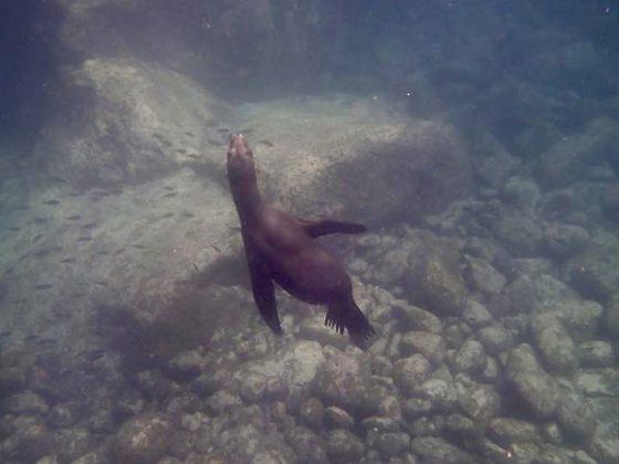 Nager avec les lions de mer, le bonheur!