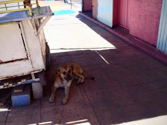 Ami chien, projet FAVI Baja California, Mexique