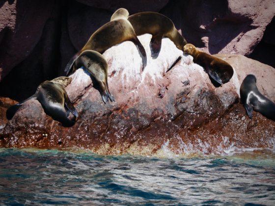 Lions de mer à Espiritu Santo, Baja California Sur