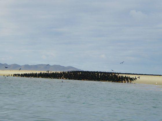 Immense colonie de cormorans, Baja California Sur
