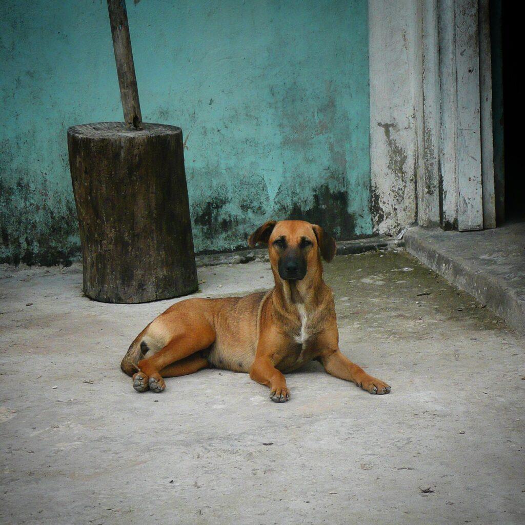 Magnifique chienne qui relaxe à Sarteneja, Belize