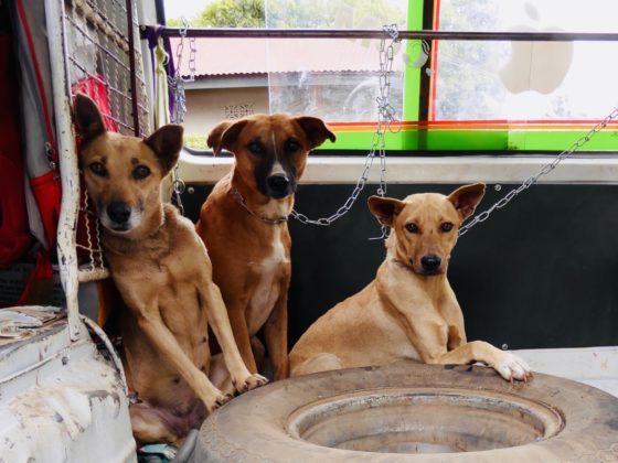 Les chiens de la rue à leur arrivée à la clinique de la FAVI en Tanzanie