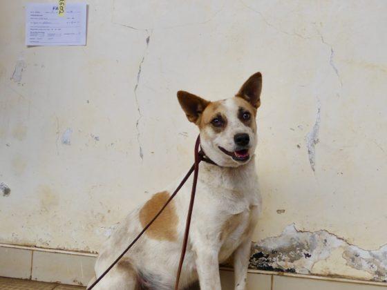 Une chienne de la rue à la clinique de la FAVI en Tanzanie