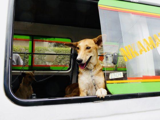 Un chien de la rue à son arrivée à la clinique de la FAVI en Tanzanie