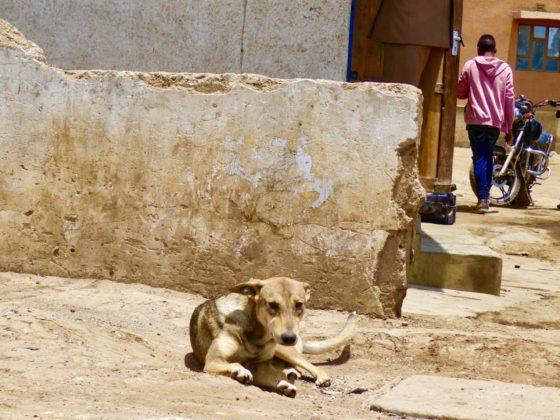 Un chien de communauté stérilisé et vacciné se repose dans son quartier à Arusha, Tanzanie