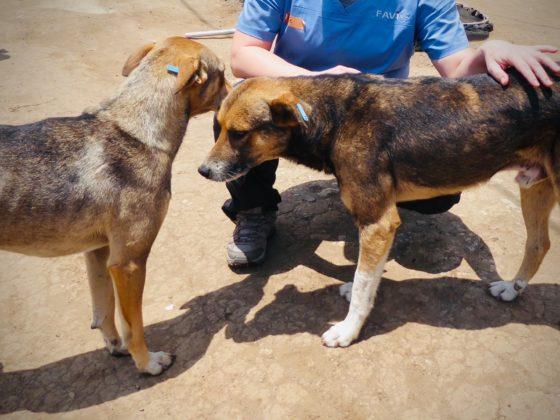 La boucle d'oreille bleue signifie que le chien a été vacciné et stérilisé