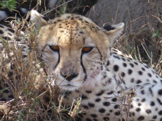 Guépard lors de notre safari FAVI