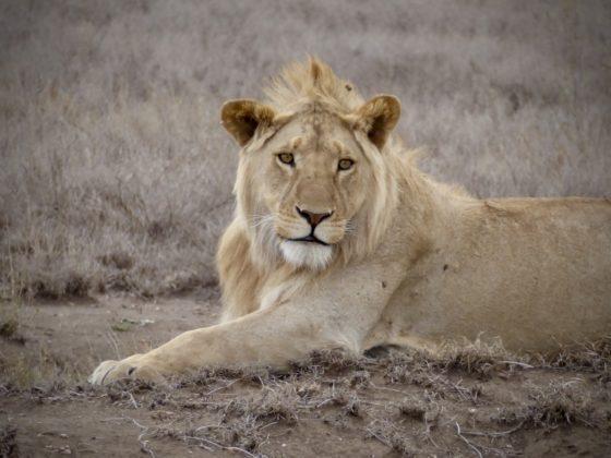 Magnifique lion dans le cratère du Ngorongoro en Tanzanie
