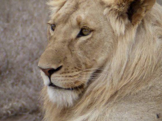 Jeune lion dans le cratère du Ngorongoro en Tanzanie