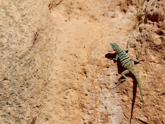 Magnifique lézard à Baja California, Mexique