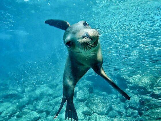 Nager avec les lions de mer à Espiritu Santo, Mexique