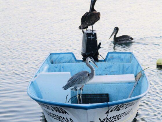Magnifiques oiseaux au port de Loreto, Mexique
