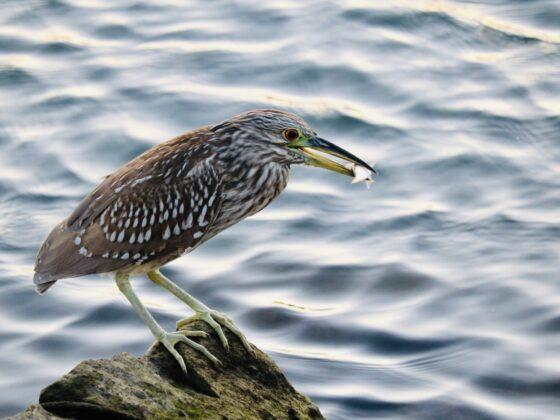 Oiseau pêcheur à Loreto, Mexique