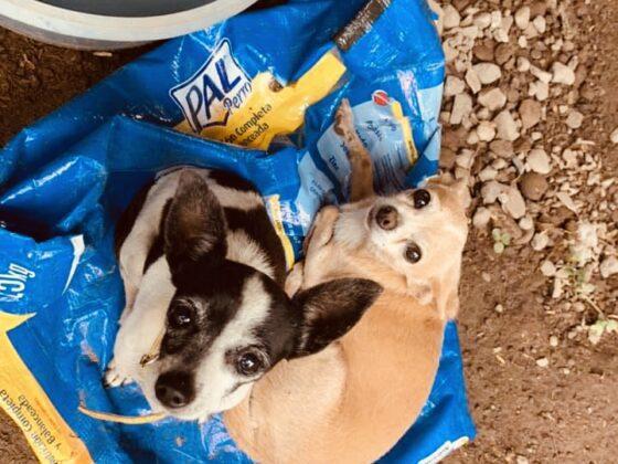 Chihuahuas au refuge Animalandia de Loreto