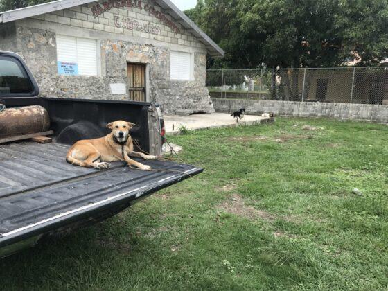 Un chien à la clinique FAVI à Sarteneja