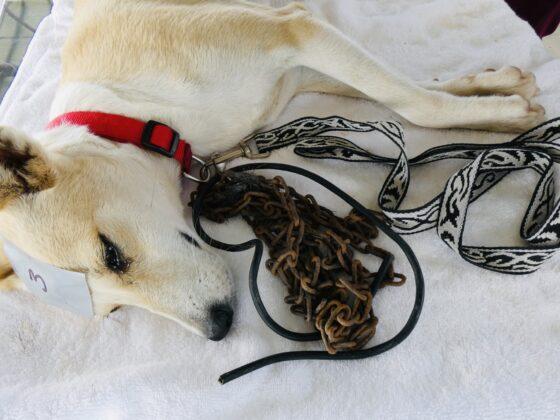 Chaque chien stérilisé par la FAVI reçoit un joli collier et une laisse pour remplacer la lourde chaîne rouillée