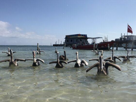 Pélicans à San Pedro, Belize